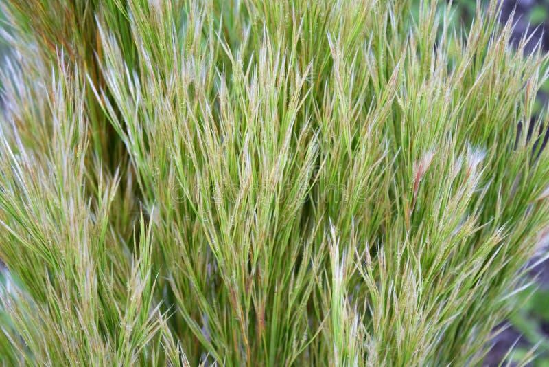 Тростники, трава в тонких тонах шалфея и беж стоковое изображение
