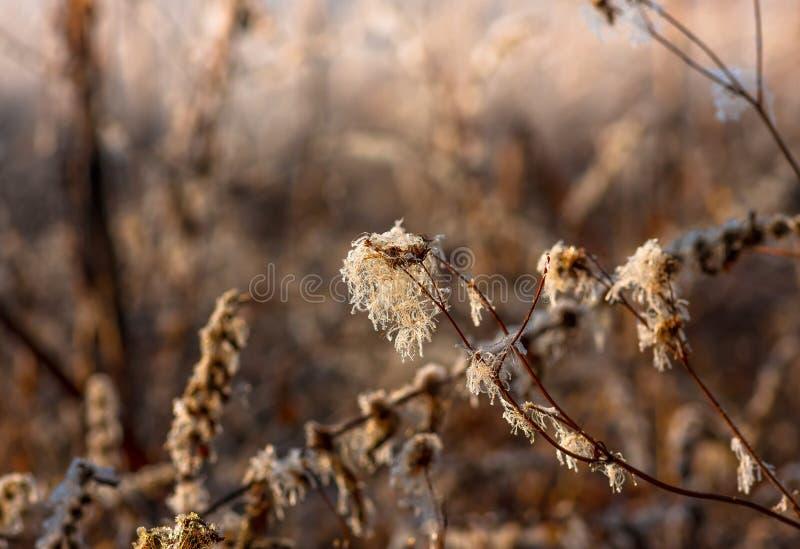Тростники травы в осени болота рано утром стоковые фотографии rf
