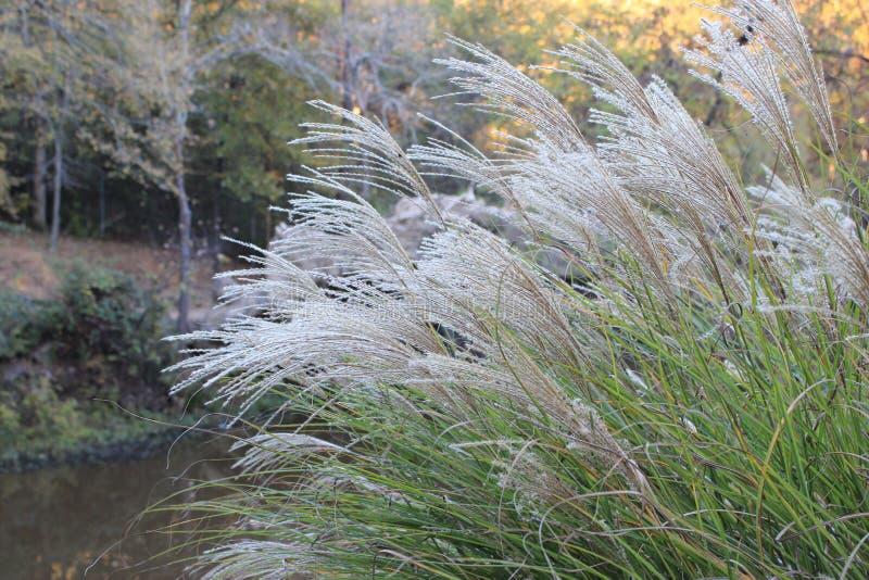 Тростники травы вдоль озера стоковые изображения rf