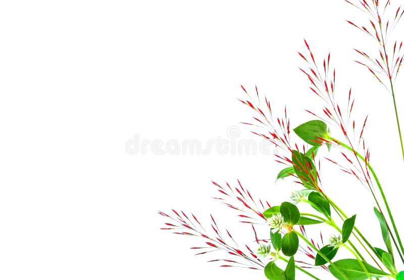 Тростники травы изолированные на белой предпосылке стоковые изображения rf