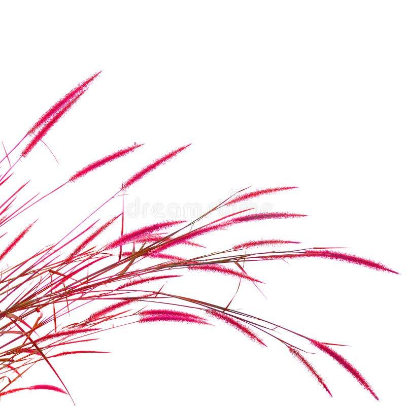 Тростники травы изолированные на белой предпосылке стоковые фотографии rf