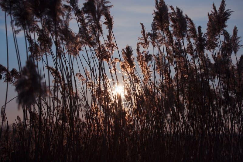 Тростники травы и солнечные небеса стоковое изображение rf