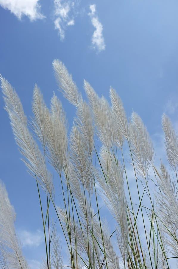 Тростники травы и цветка травы стоковые изображения