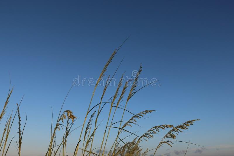 Тростники травы пляжа стоковое изображение