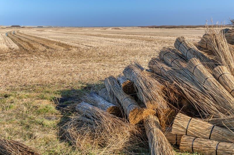 Тростники для покрывать попробованный в пачках стоковое фото rf