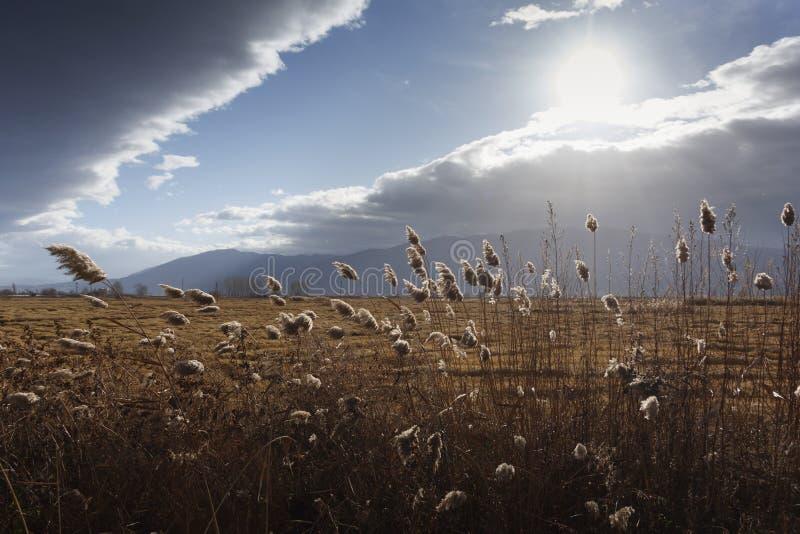 Тростники, bulrush, против облачного неба Ландшафт осени стоковое изображение
