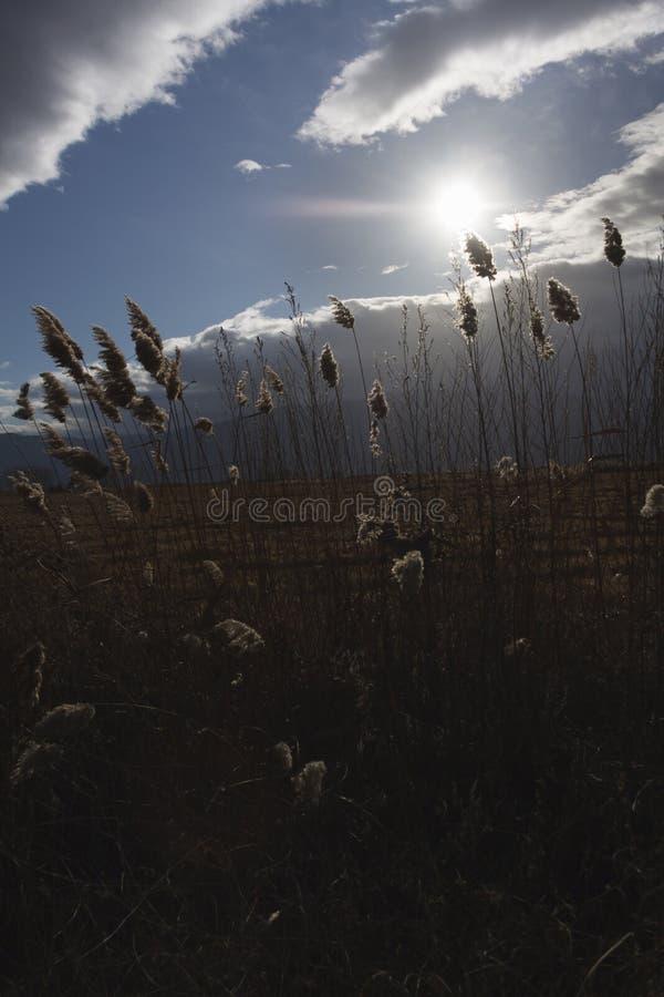Тростники, bulrush, против облачного неба Ландшафт осени стоковые изображения