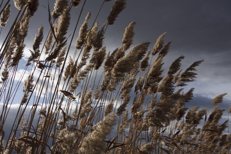 Тростники, bulrush, против облачного неба Ландшафт осени стоковые изображения rf