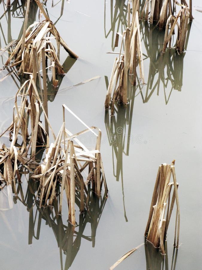 Тростники Bulrush с отражениями стоковые фотографии rf