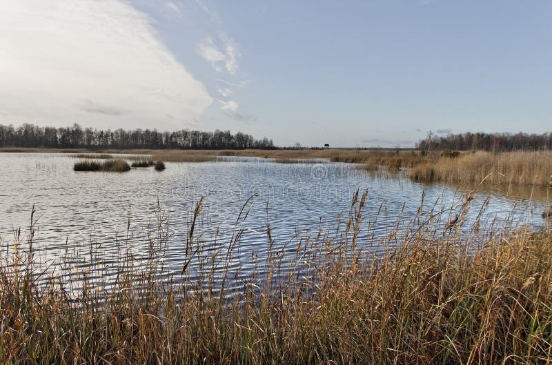 Тростники wiith озера стоковые изображения rf