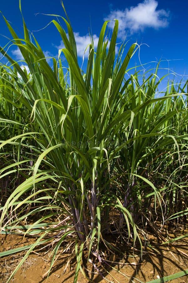 тростниковый сахар стоковое фото