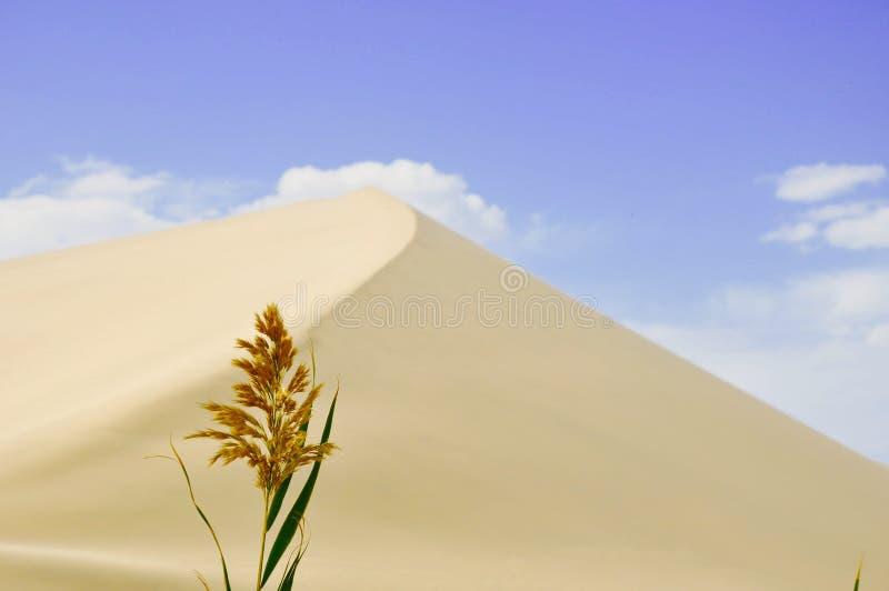 Тростник в пустыне стоковая фотография