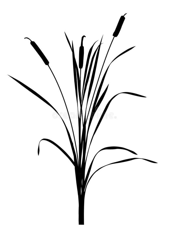 тростник иллюстрации иллюстрация штока