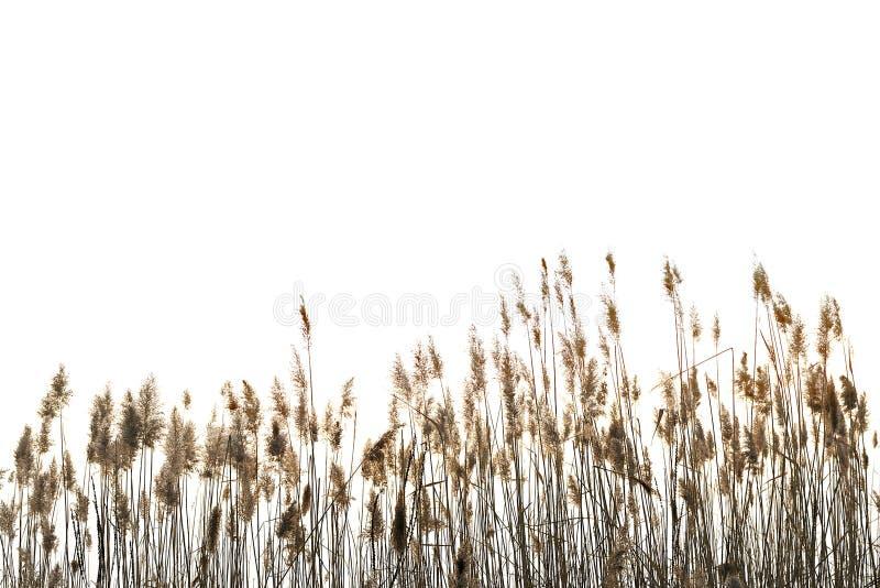 Тростник против белизны стоковое фото rf