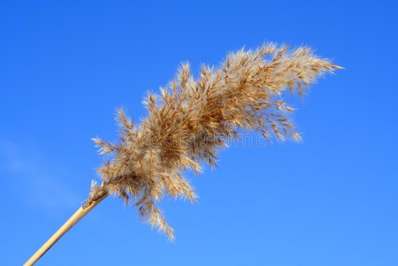 тростник стоковое изображение rf