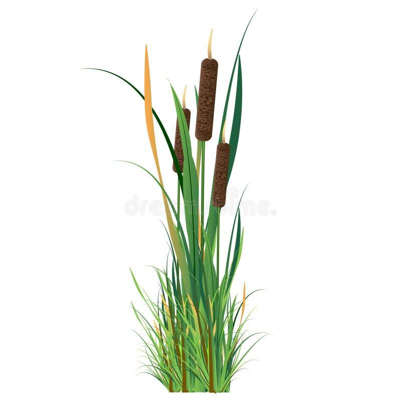 тростник иллюстрация штока