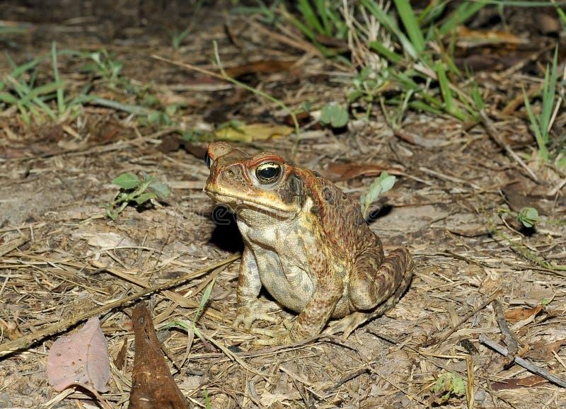 Тросточка или морская жаба Bufa marinus стоковые фотографии rf