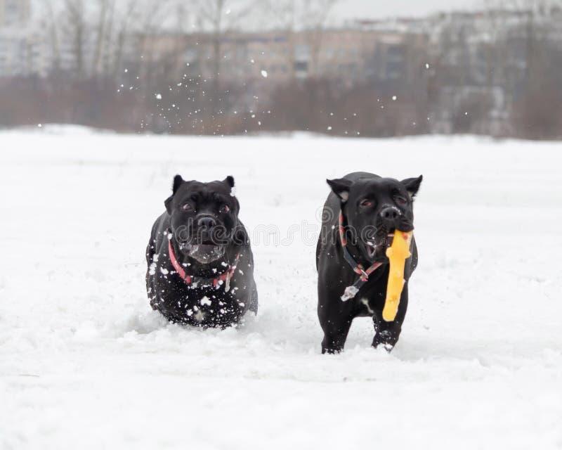 Тросточка Corso Игра собак друг с другом стоковые фотографии rf