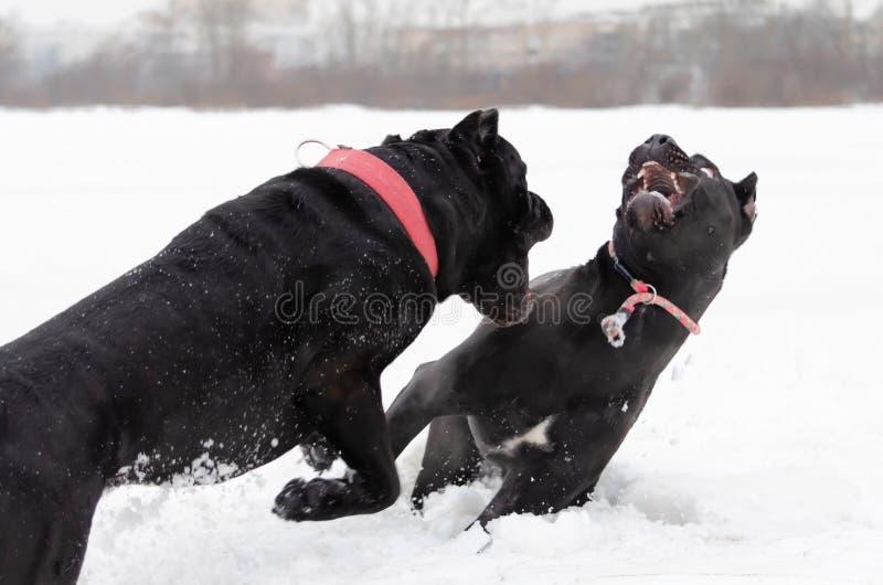Тросточка Corso Игра собак друг с другом стоковое изображение