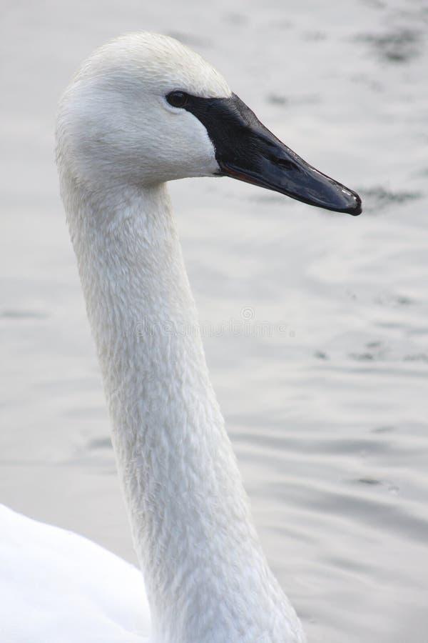 трубач лебедя стоковые изображения rf
