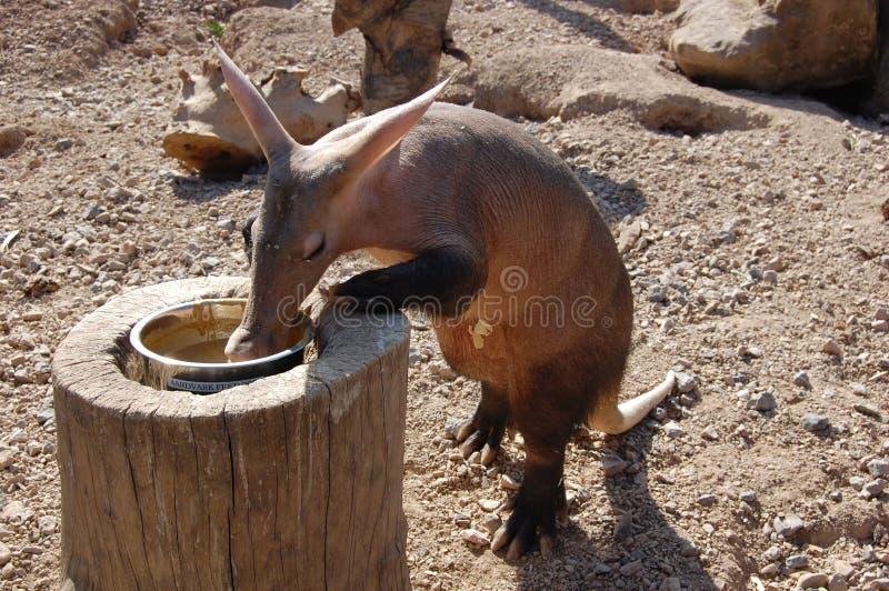 Трубкозуб (afer Orycteropus) на зоопарке стоковая фотография rf