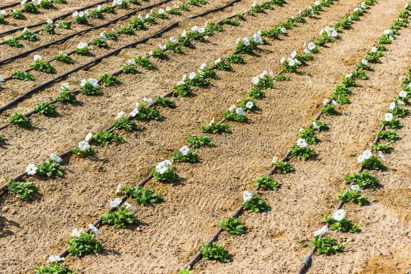 Трубопровод на цветках лужайки стоковые фотографии rf