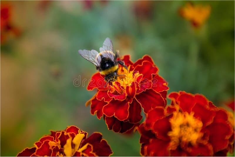 Трудн-работая пчела стоковые фотографии rf