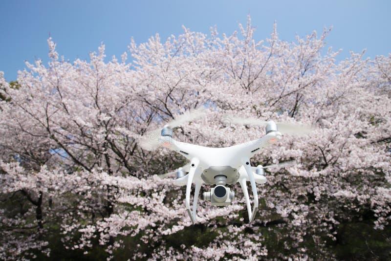 Трутень с красивым вишневым цветом стоковые фото