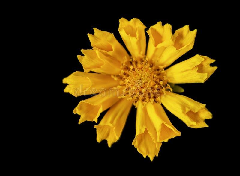 Тряся желтый цветок на черноте стоковое фото rf