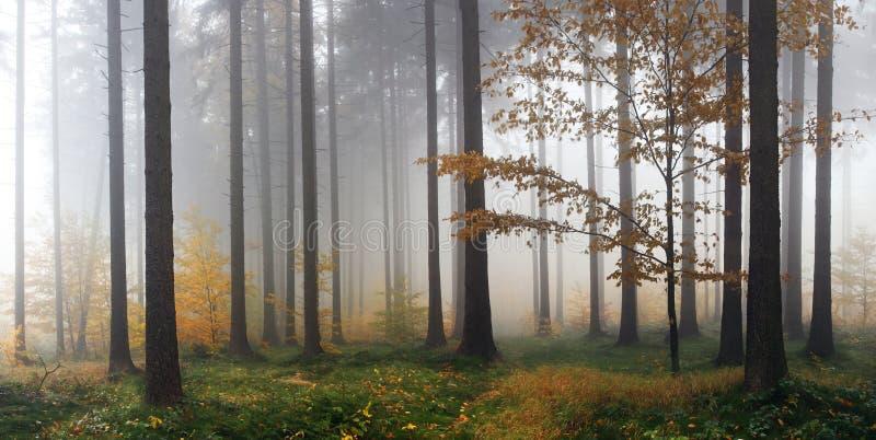 Туманная пуща осени после дождя стоковая фотография