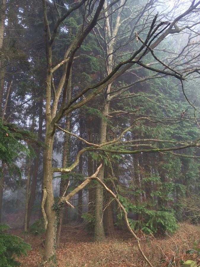 туманнейшие древесины стоковые фотографии rf