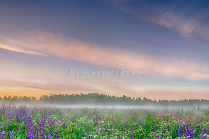 Туманное утро на поле одичалого голубого lupinus цветет Красивейший ландшафт стоковые фотографии rf