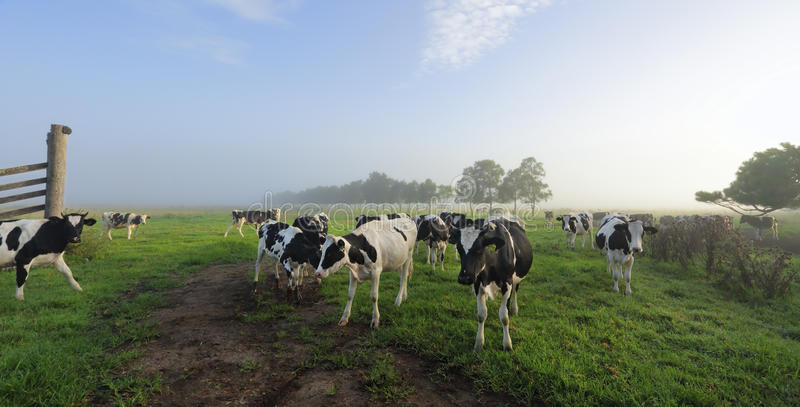 Туманные выгоны молокозавода Brundee утра стоковая фотография rf