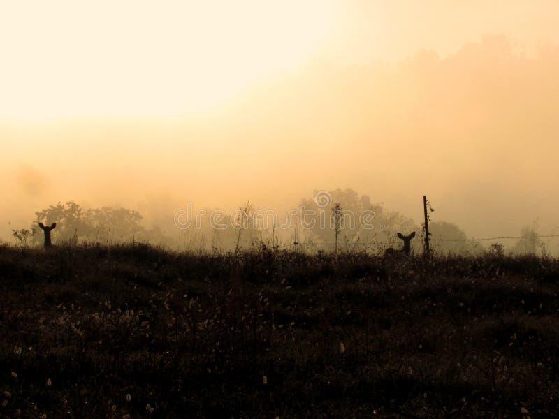 Туманные олени утра стоковое изображение rf