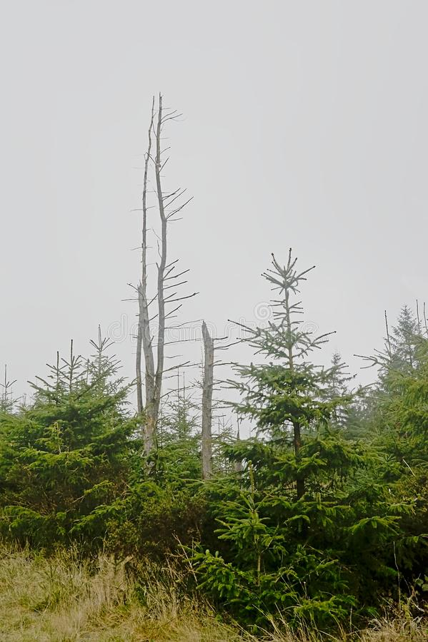 Туманный елевый лес с мертвым деревом в горах Ticknock стоковые изображения rf