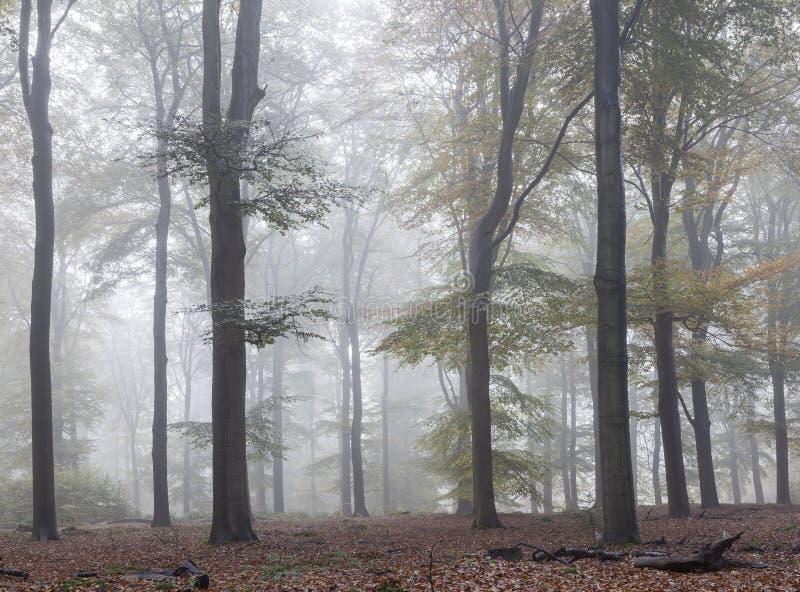 Туманный лес раннего утра в Нидерланд около utrecht стоковое изображение rf