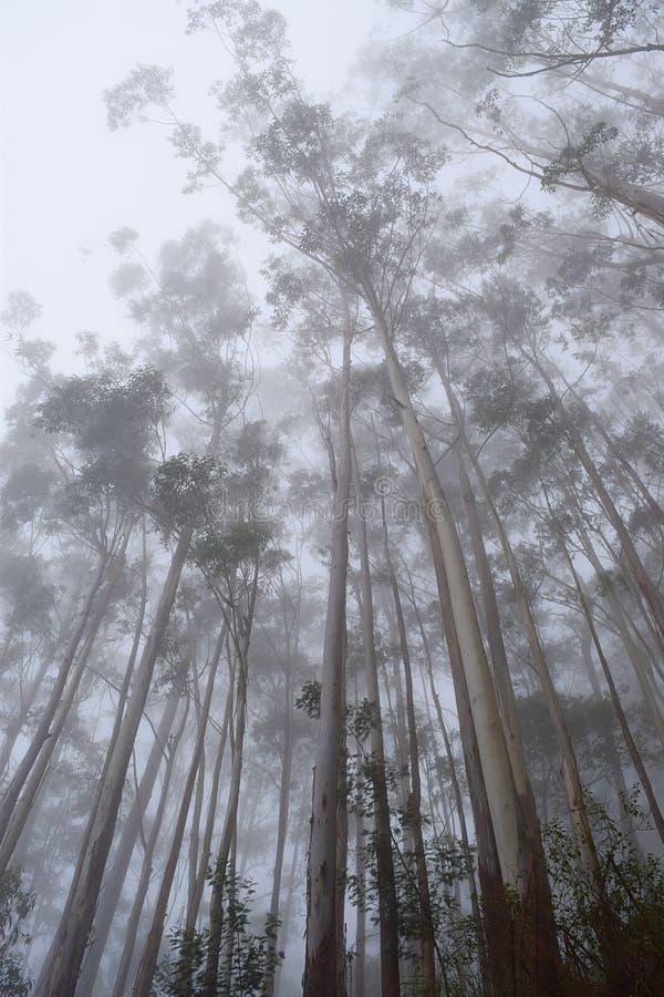 Туманный лес с высокими деревьями и бесконечным небом - передвижными обоями экрана стоковые изображения