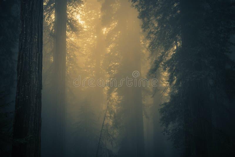 Туман в лесе Redwood стоковая фотография