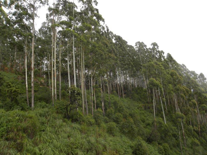 Туман, туман и облако покрыли высокорослые сосны на холмах стоковые фото