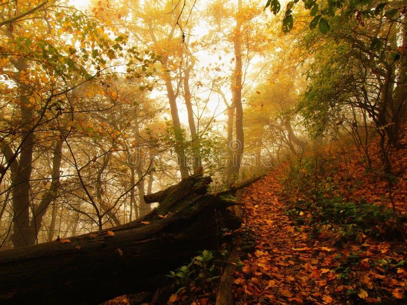 Туман осени в лесе разрешения согнул деревья бука и кленов с меньше листьев под туманом день ненастный стоковая фотография rf