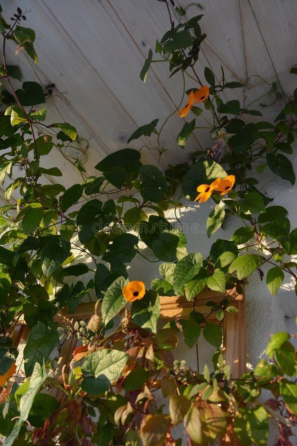 Тунбергия с оранжевыми цветами растет у стены на балконе Цветной сад с растениями-альпинистами стоковая фотография