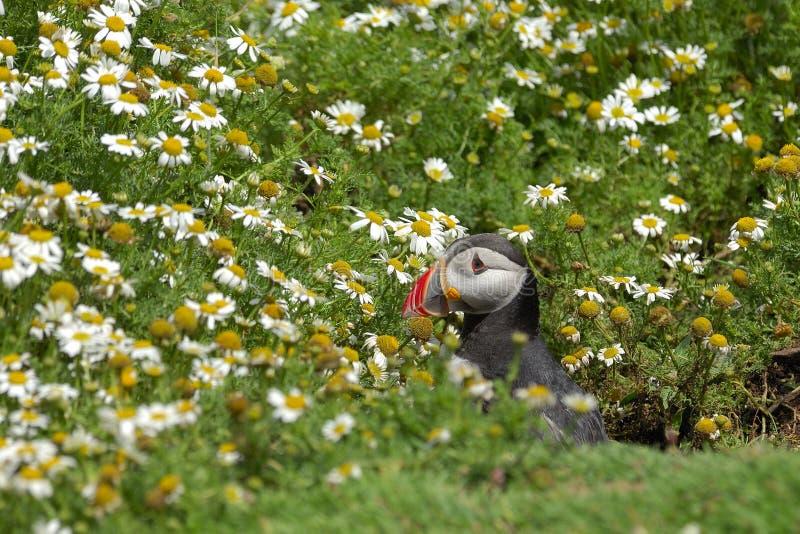 тупик fratercula arctica атлантический стоковое изображение