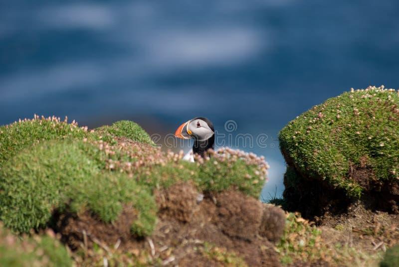 тупик fratercula arctica стоковая фотография