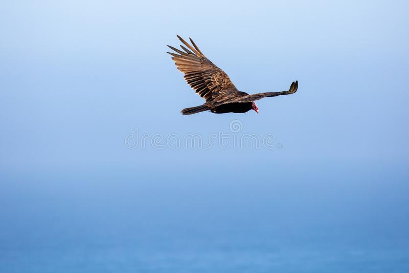 Турецкий стервятник, взлетевший над голубым океаном и в голубом небе стоковые изображения