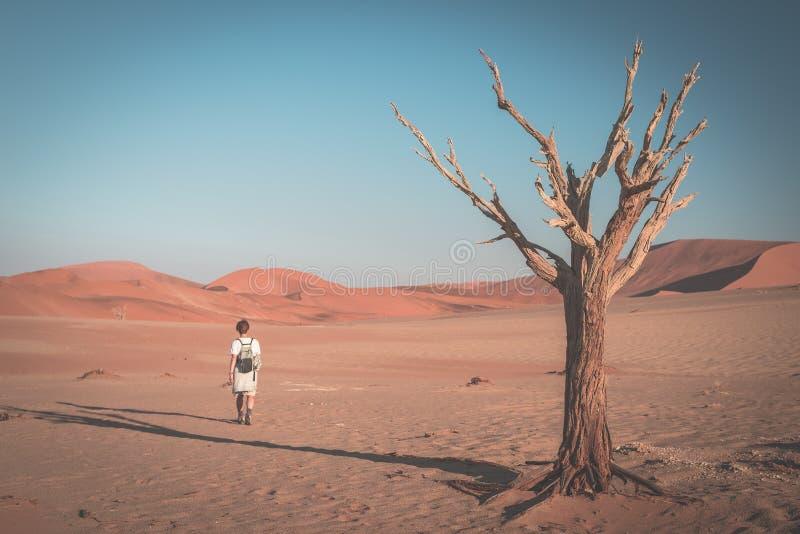 Турист идя на сценарную пустыню на Sossusvlei, национальном парке Namib Naukluft, Намибии Заплетенное дерево акации и красные пес стоковые фотографии rf