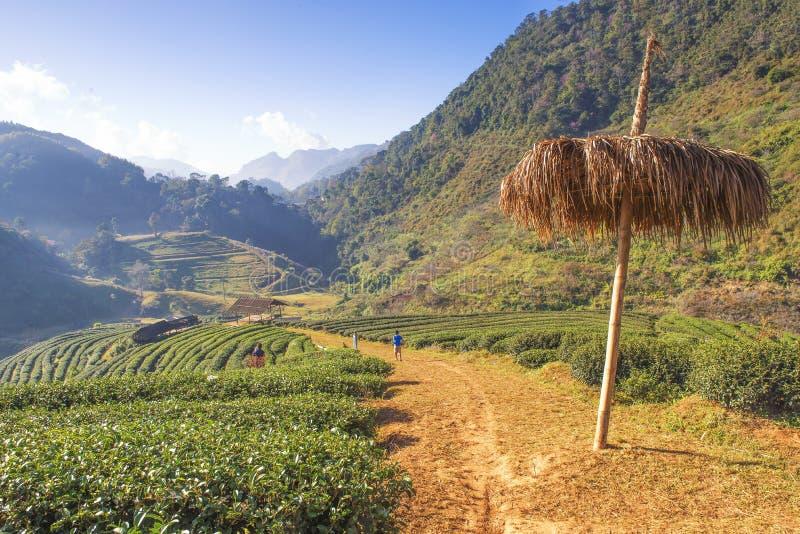 Турист наслаждается sightseeing на королевской плантации чая террасы проекта на Angkhang Mountian, Chiangmai, Таиланде стоковое изображение rf