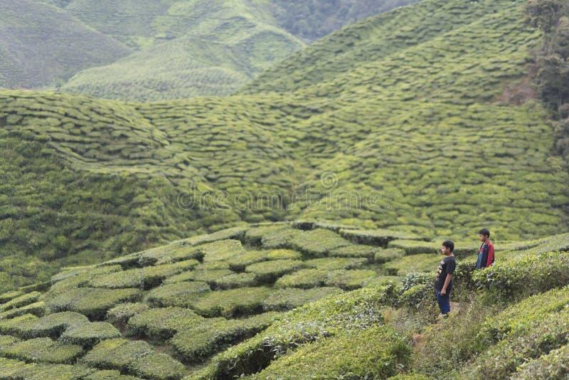 Турист на плантации чая стоковая фотография rf
