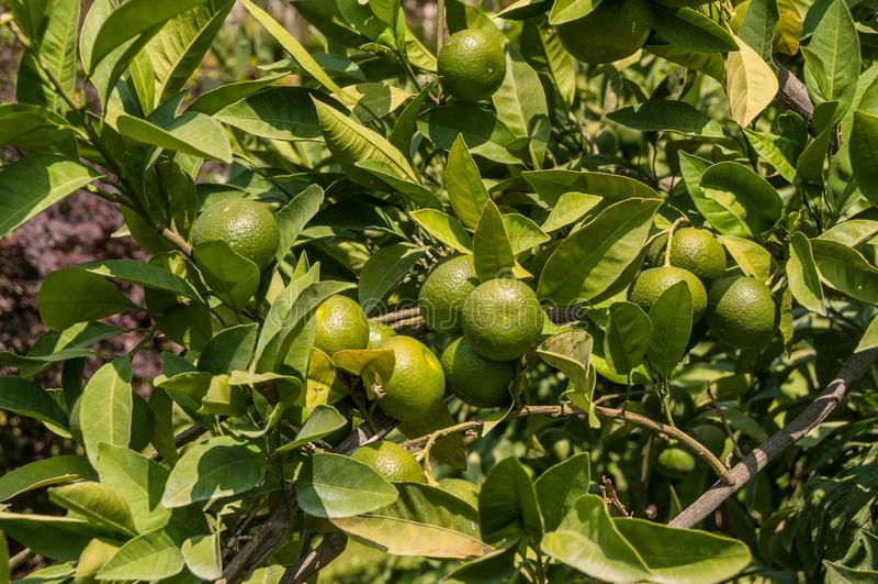 Турция Kemer, лето Сад на месте Дерево Tangerine, зеленый плодоовощ стоковая фотография rf