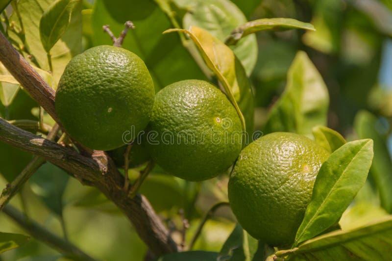 Турция Kemer, лето Сад на месте Дерево Tangerine, зеленый плодоовощ стоковое изображение