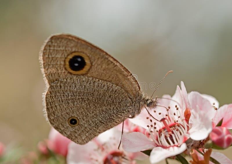 Тусклая бабочка кольца на австралийском цветке пинка leptospernum стоковые фотографии rf